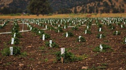 Seedling Selections, Shastina CA | Breeding Program | Lassen Canyon Nursery