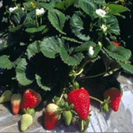 Albion | Strawberry Varieties | Lassen Canyon Nursery