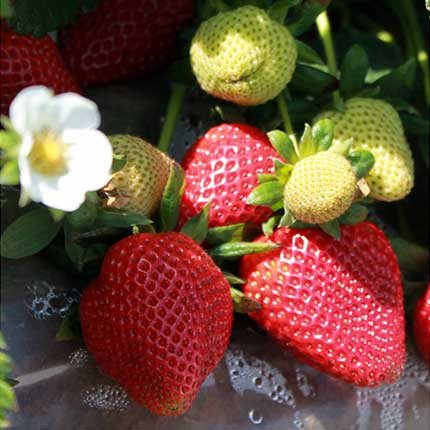 Benicia | Strawberry Varieties | Lassen Canyon Nursery