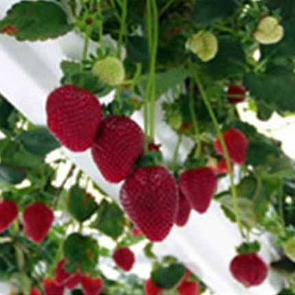 Camarosa | Strawberry Varieties | Lassen Canyon Nursery