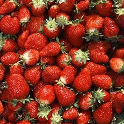 Chandler | Strawberry Varieties | Lassen Canyon Nursery