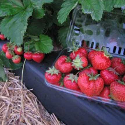 Flavorfest | Strawberry Varieties | Lassen Canyon Nursery