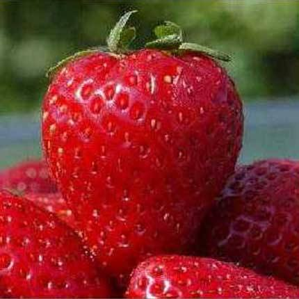 Florida Strawberry Festival | Strawberry Varieties | Lassen Canyon Nursery