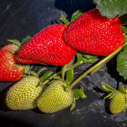 Fronteras | Strawberry Varieties | Lassen Canyon Nursery