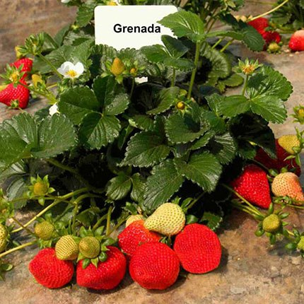 Grenada | Strawberry Varieties | Lassen Canyon Nursery