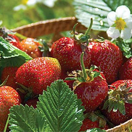 Jewel | Strawberry Varieties | Lassen Canyon Nursery
