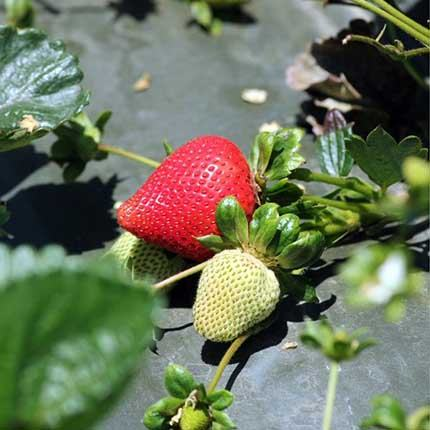 Lucia | Strawberry Varieties | Lassen Canyon Nursery