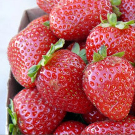 Monterey | Strawberry Varieties | Lassen Canyon Nursery