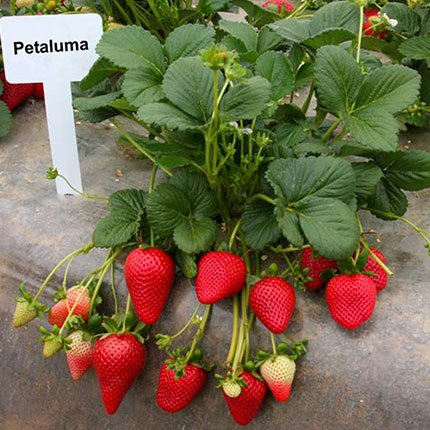 Petaluma | Strawberry Varieties | Lassen Canyon Nursery