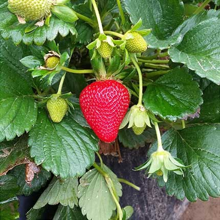 Ruby June | Strawberry Varieties | Lassen Canyon Nursery