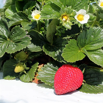 San Andreas | Strawberry Varieties | Lassen Canyon Nursery