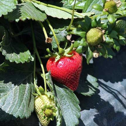 Scarlet | Strawberry Varieties | Lassen Canyon Nursery