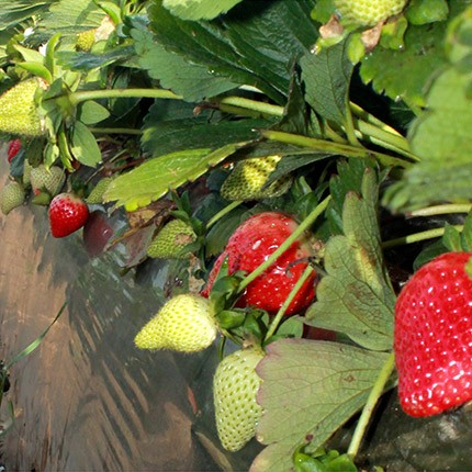 Sweet Ann | Strawberry Varieties | Lassen Canyon Nursery