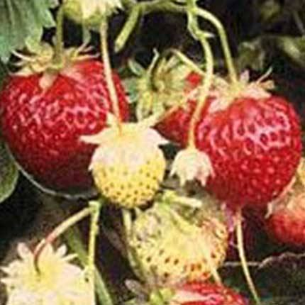 Tillamook | Strawberry Varieties | Lassen Canyon Nursery