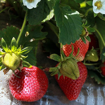 Ventana | Strawberry Varieties | Lassen Canyon Nursery