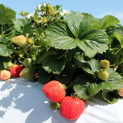 Monterey | Strawberry Varieties | Lassen Canyon Nursery